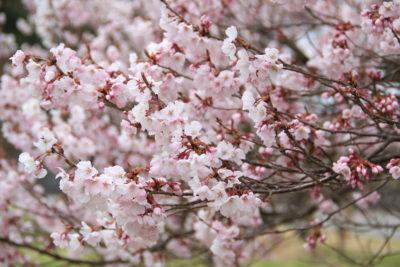 原村の桜開花情報2017・八ヶ岳中央高原