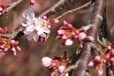 桜速報 菖蒲沢で咲き始めました 4月4日