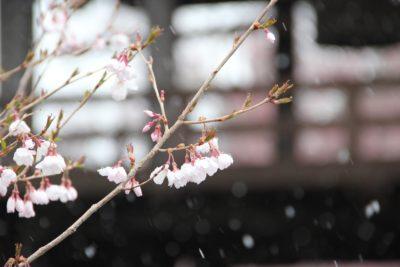 桜速報 深叢寺の桜は三分咲きです