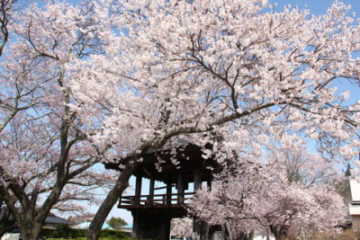 深叢寺の桜が満開です