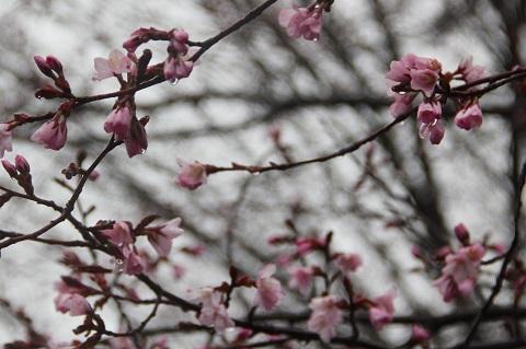 八ヶ岳中央高原の桜が咲き始めました