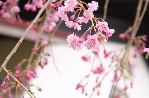 樅の木荘の桜が満開です
