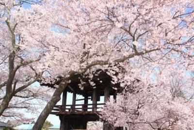 原村にも桜の季節到来